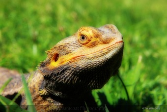 2012-12-15 Bearded Dragon 012