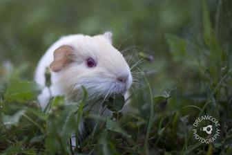 2013-05-13 Guinea Pigs 031