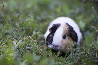 2013-05-13 Guinea Pigs 038