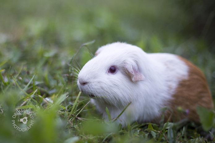 2013-05-13 Guinea Pigs 061