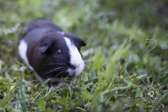 2013-05-13 Guinea Pigs 065