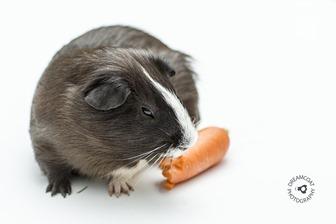 2014-03-22 Guinea Pigs 023