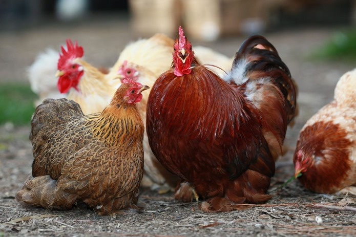 2015-06-25 Chickens 212